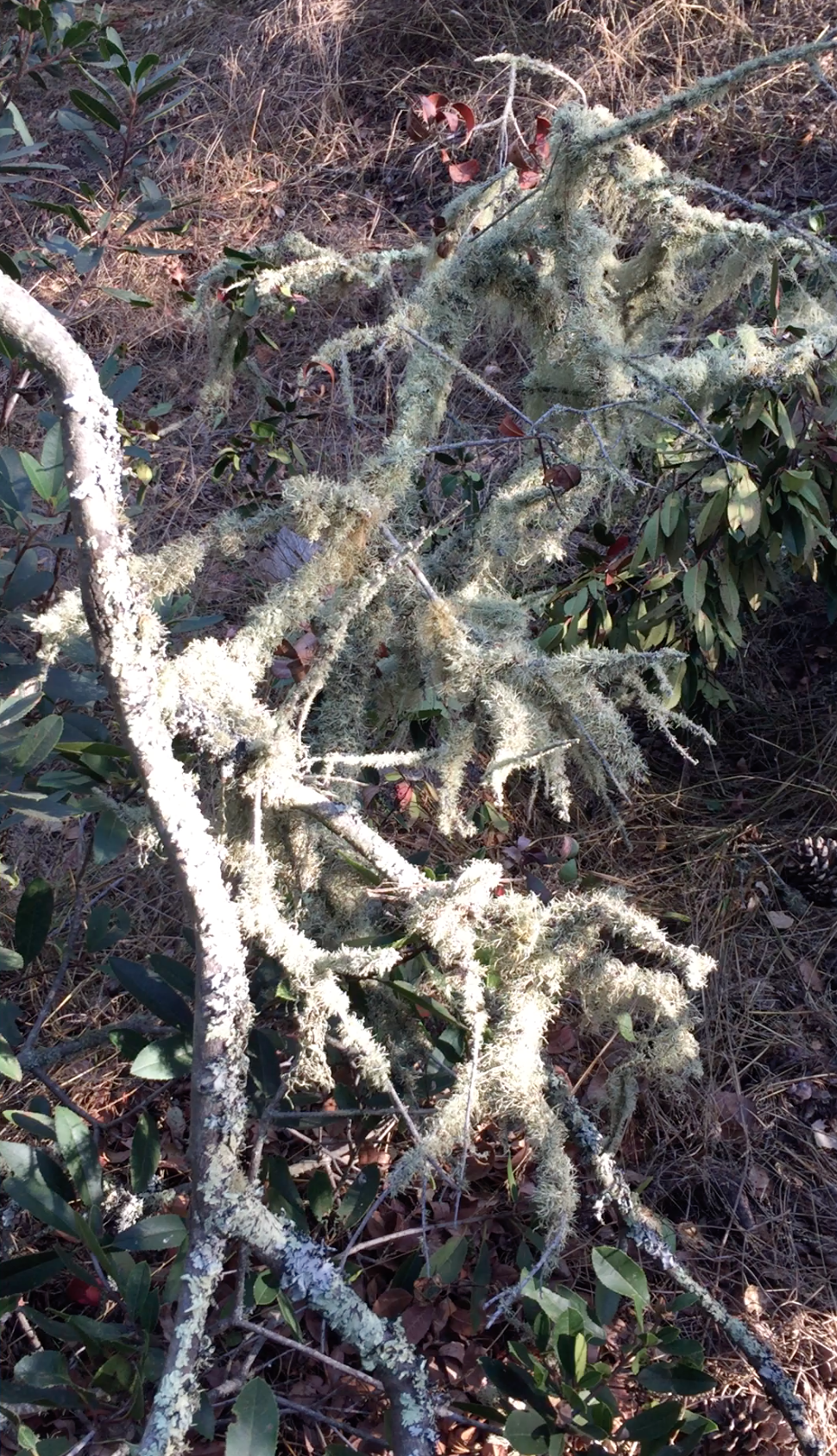 A branch saturated with Lichen